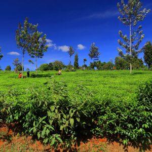 Piantagioni in Kenya